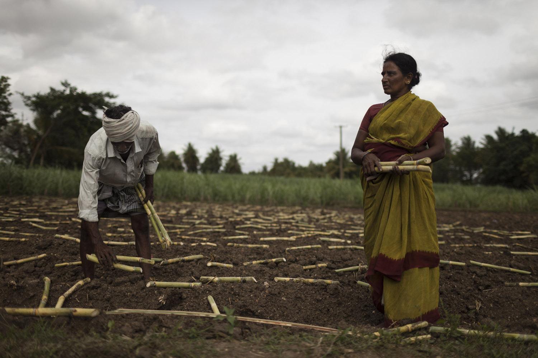 Planting sugarcane in Madhar Halli.