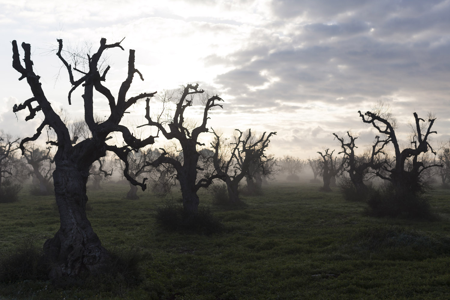 Dead olive trees in the countryside of Ugento, in Salento. Entire swathes of the region now look like an eerie cemetery of desiccated trees, some of which had stood for centuries if not thousands of years. (2017)