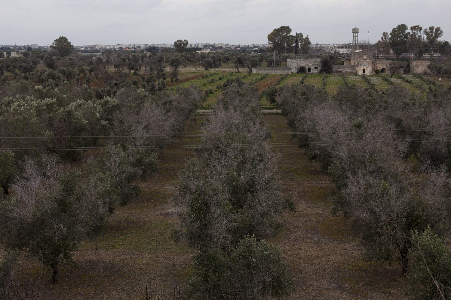 Dessicated trees in the countryside of Salento. (2016)