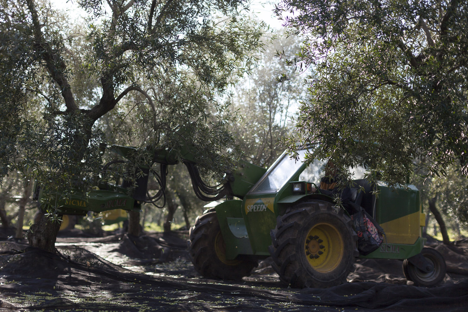 Harvesting olives in a modern, intensive olive grove in the countryside of Ostuni. The olive oil sector in Puglia employs thousands of people, produces half a billion euros of value every year and literally defines much of a region that boasts more than 50 million olive trees. (2016)