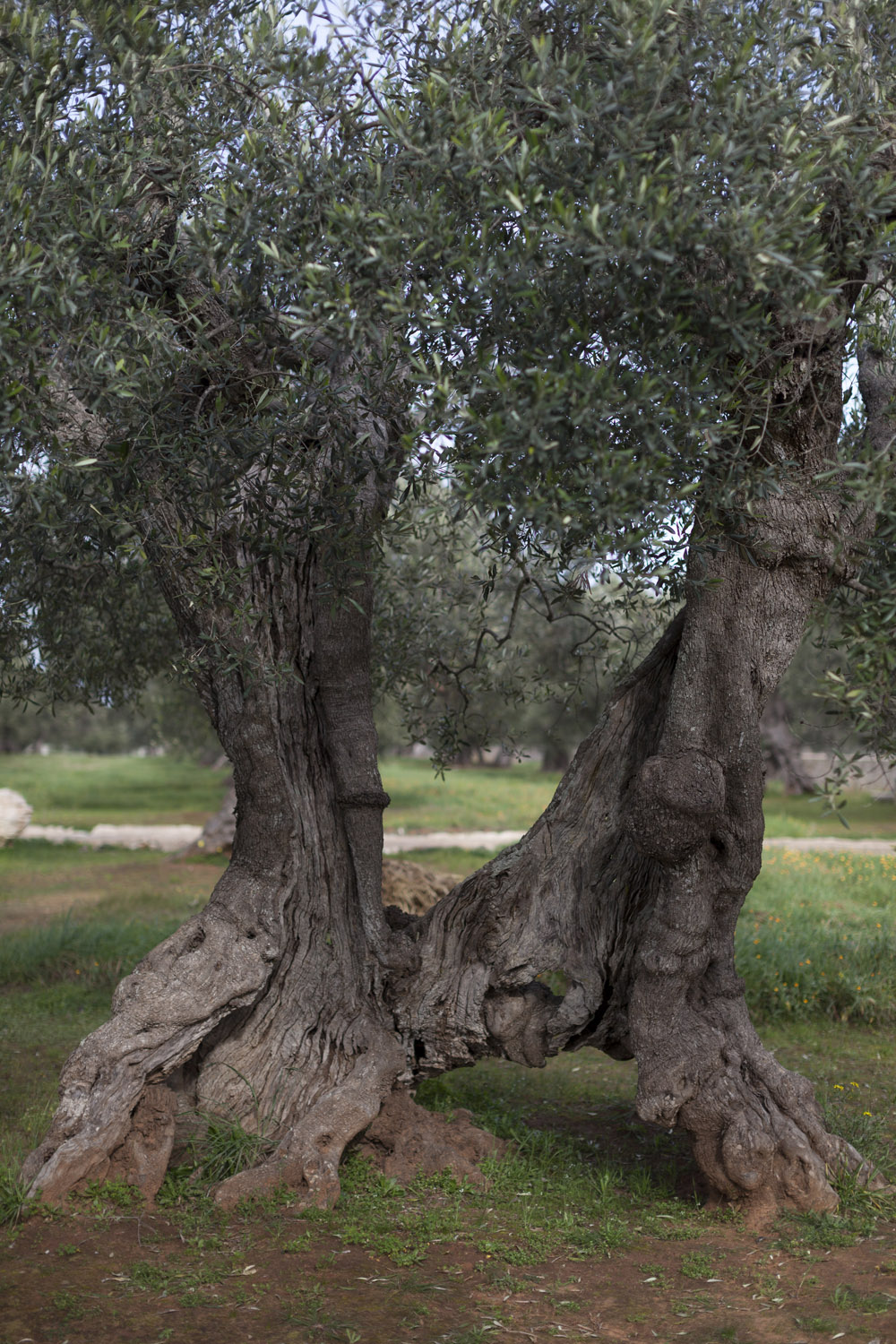 A centuries-old olive tree in Salento. (2017)