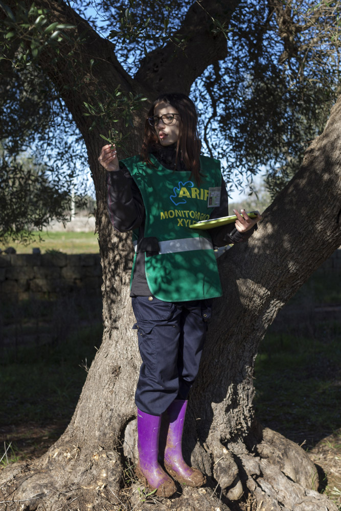 A worker from ARIF checks for visible symptoms of the presence of Xylella fastidiosa in the countryside of Francavilla Fontana. (2017)
