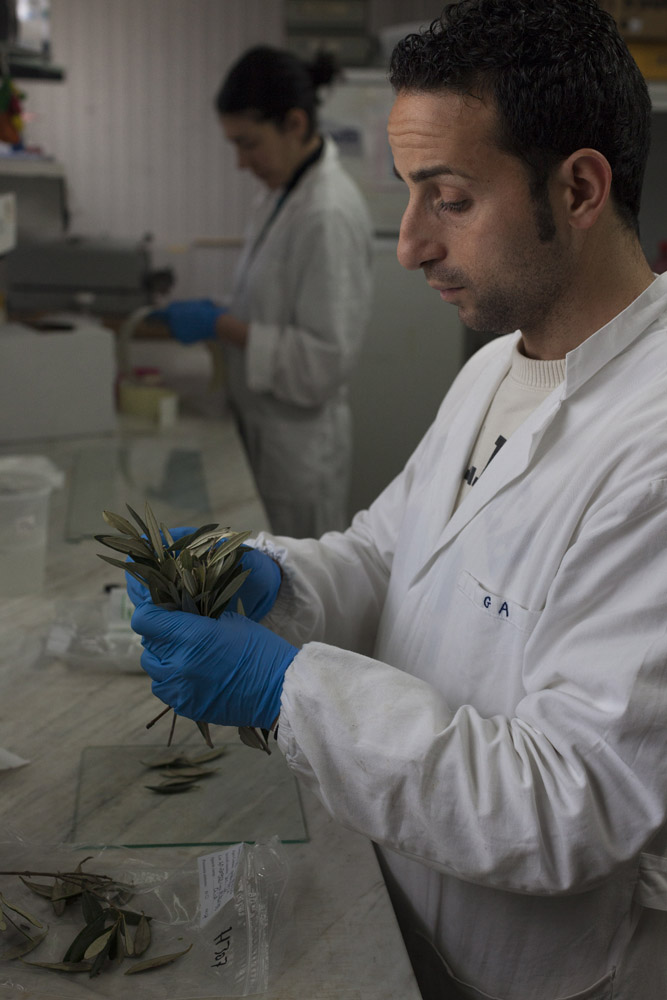 Testing samples of olive leaves for the bacteria Xylella fastidiosa at the CNR (National Research Council) of Bari. (2017)