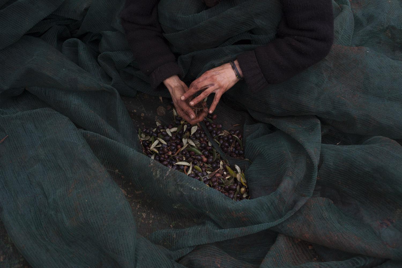 Harvesting our olives. (2012)