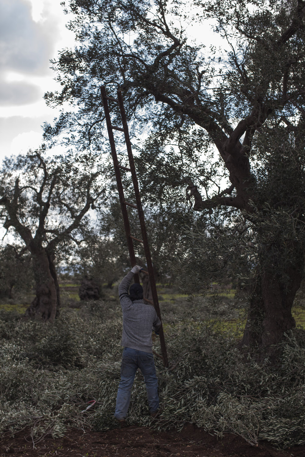 "Pruning centuries-old olive trees in the countryside of Fasano. Most of the olive trees of the ""Piana degli Ulivi"", whose booming tourist industry owns much to the landscape they create, are pruned by under-paid Albanian workers, who are paid as little as 50 euros to prune as many as 50 trees in one day, with obvious results. (2017)"