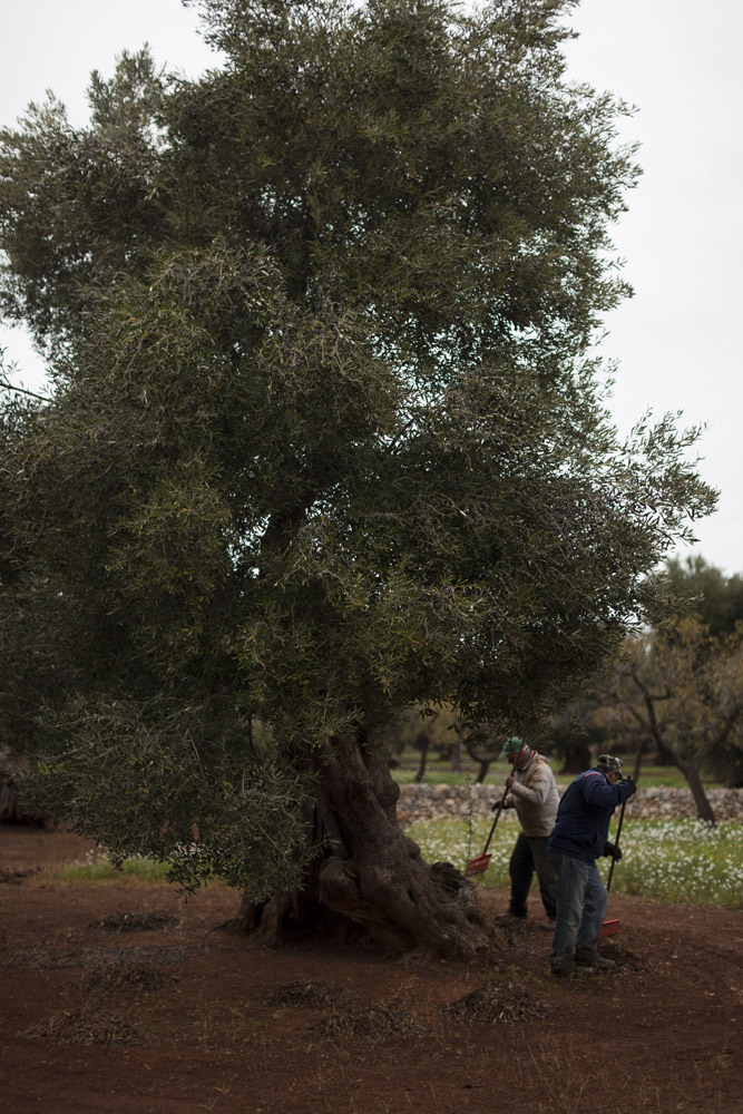 Harvesting olives from a centuries-old tree in the countryside of Monopoli. (2017)