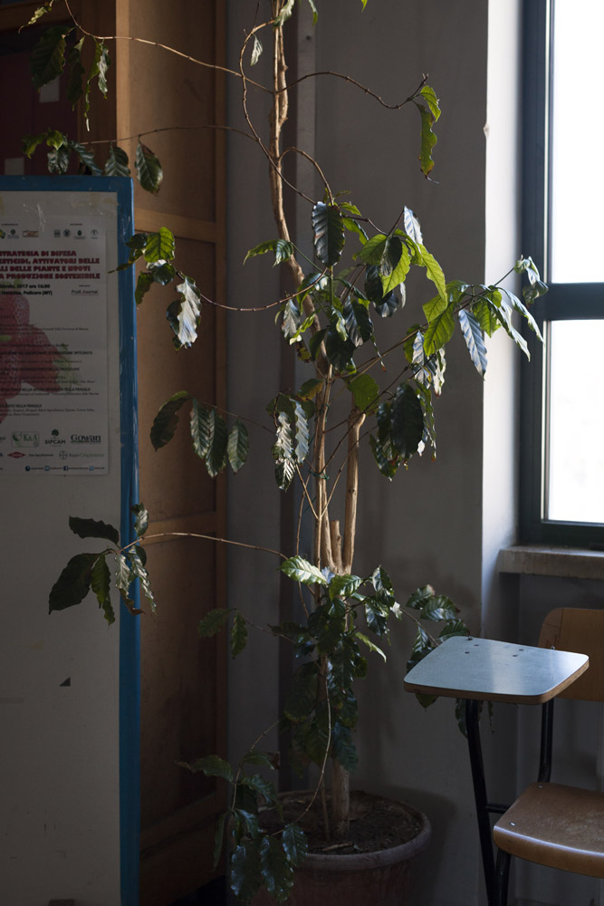 According to the scientists of the University of Bari, the bacteria Xylella fastidiosa came to Europe on an ornamental coffee plant, such as this one in the university's plant pathology department, imported from Costa Rica and most likely not subjected to quarantine. (2017)