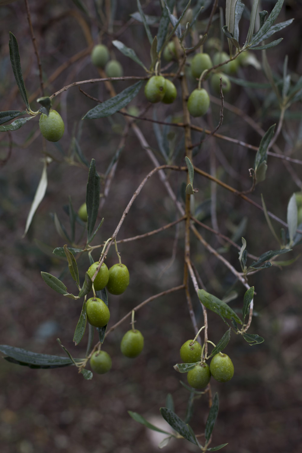 Olives at the University of Bari's experimental field in Valenzano, where researchers are working to adapt Puglia's olive varieties to super-intensive cultivation systems. (2017)