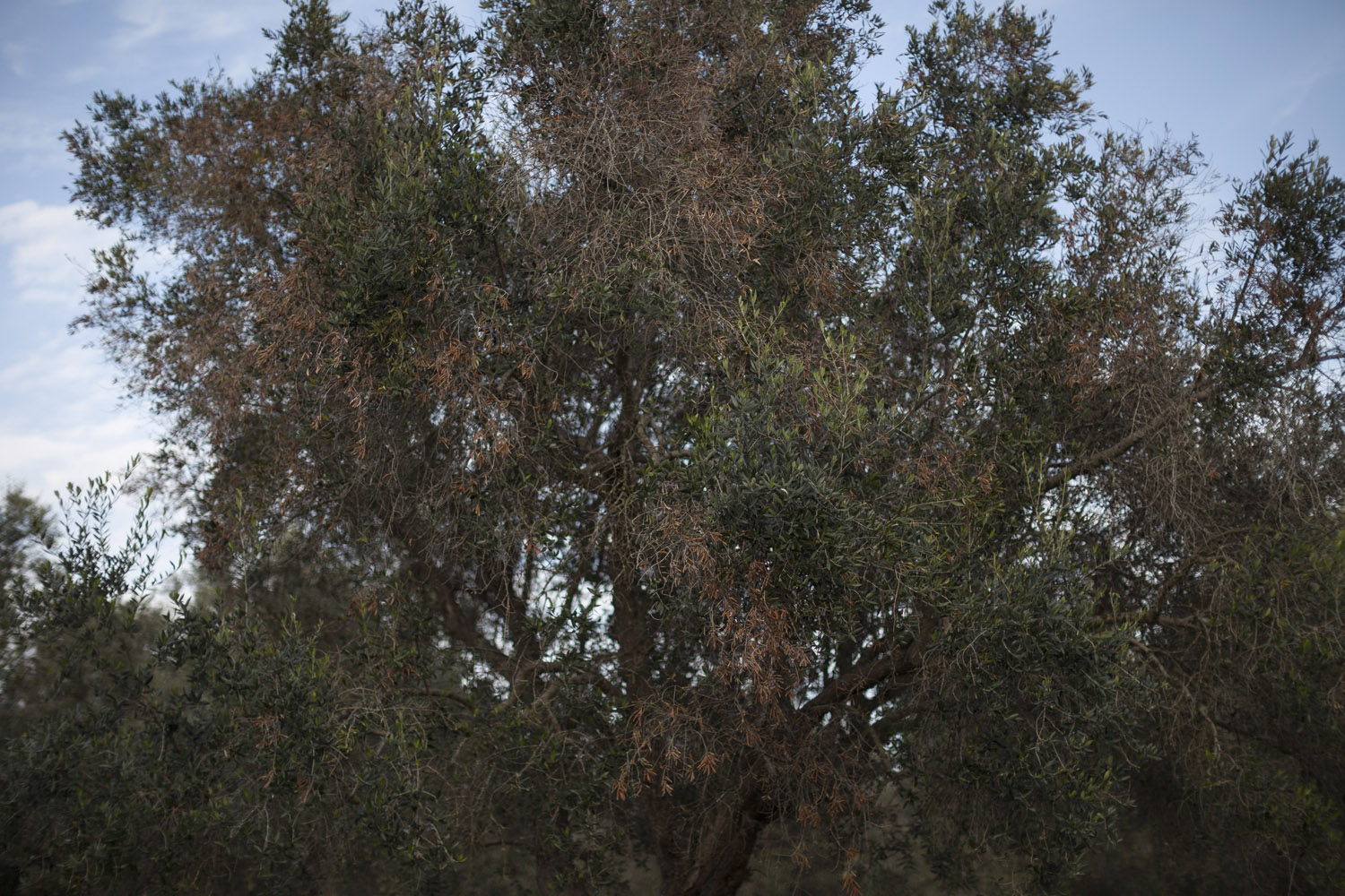 "The first signs of ""Olive Quick Decline Syndrome"" (OQDS), as the disease that is ravaging the olive trees of Salento is called, on a centuries-old olive grove in the countryside of Vernole. While olive trees have always suffered from many diseases and pests, today the sight of these patches of yellow leaves is enough to spread terror across entire communities. (2015)"