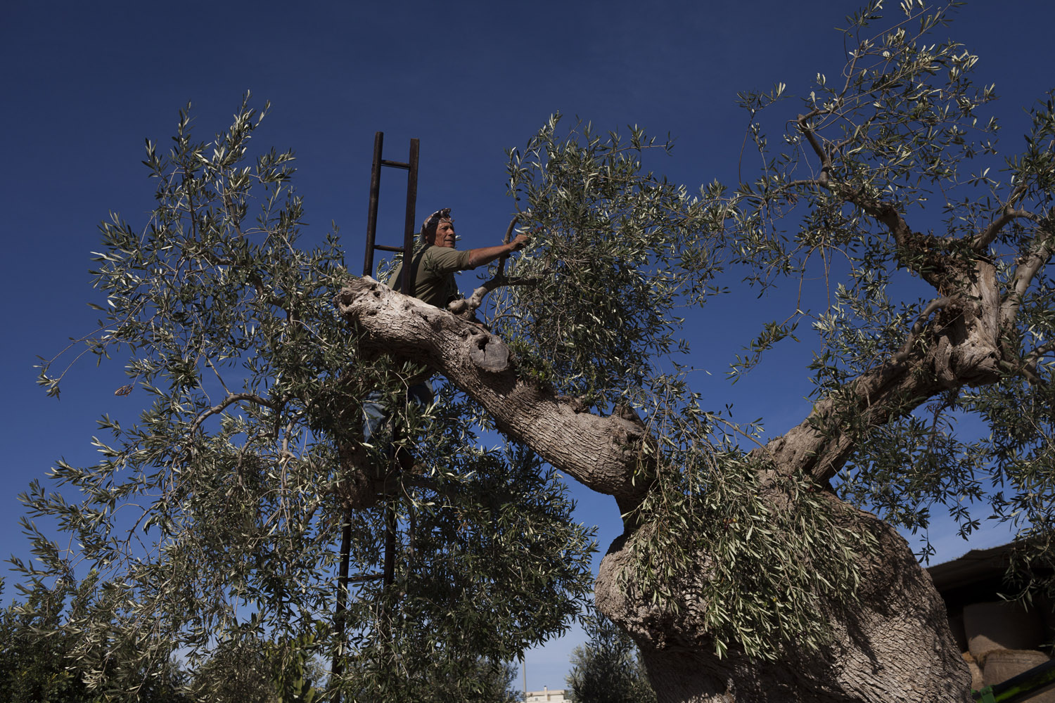 Pruning olive trees in the countryside of Fasano. Techniques such as pruning are extremely important to the trees' health, making up much of the cost of olive oil production, and have declined as farmers have been forced to cut costs because of this commodity's chronically low prices. (2017)