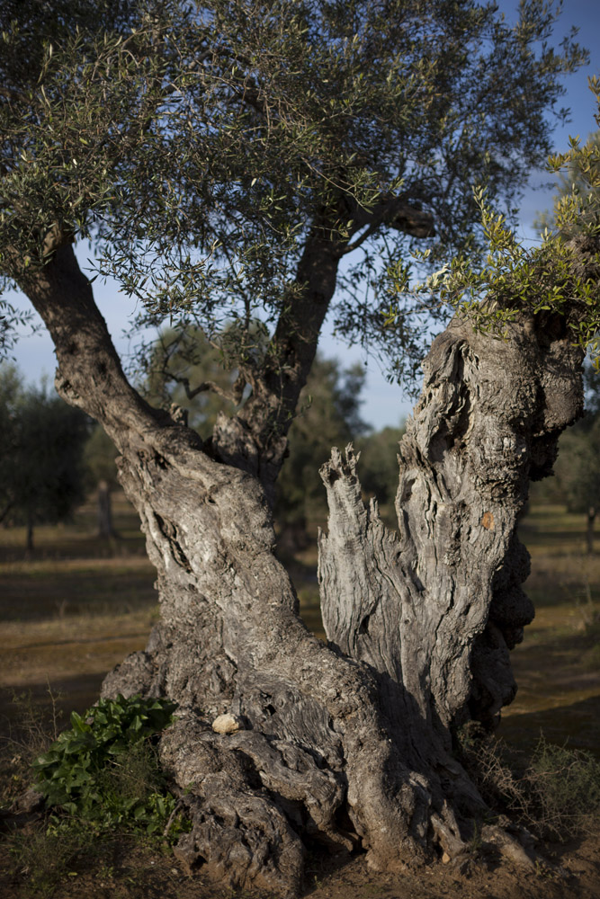 A centuries-old olive tree in the countryside of Squinzano, in Salento. (2016)
