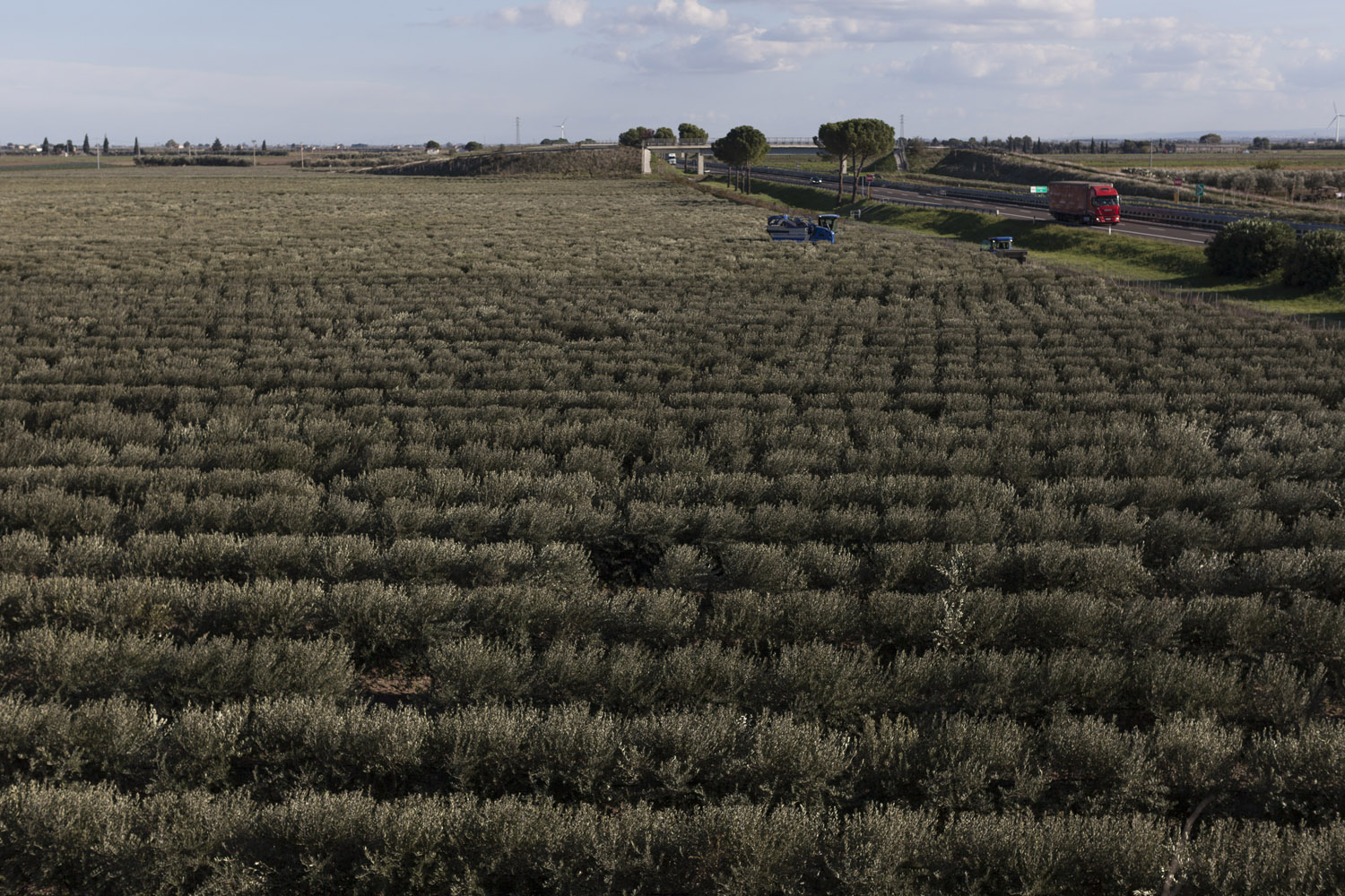 A super-intensive olive grove in the countryside of Foggia, in the north of the region. Modern systems such as these are being proposed as a replacement for Puglia's traditional olive groves, leading to much controversy about their environmental sustainability, their resilience to future pathogens and the wisdom of persisting in a monocultural approach to olive cultivation. (2018)