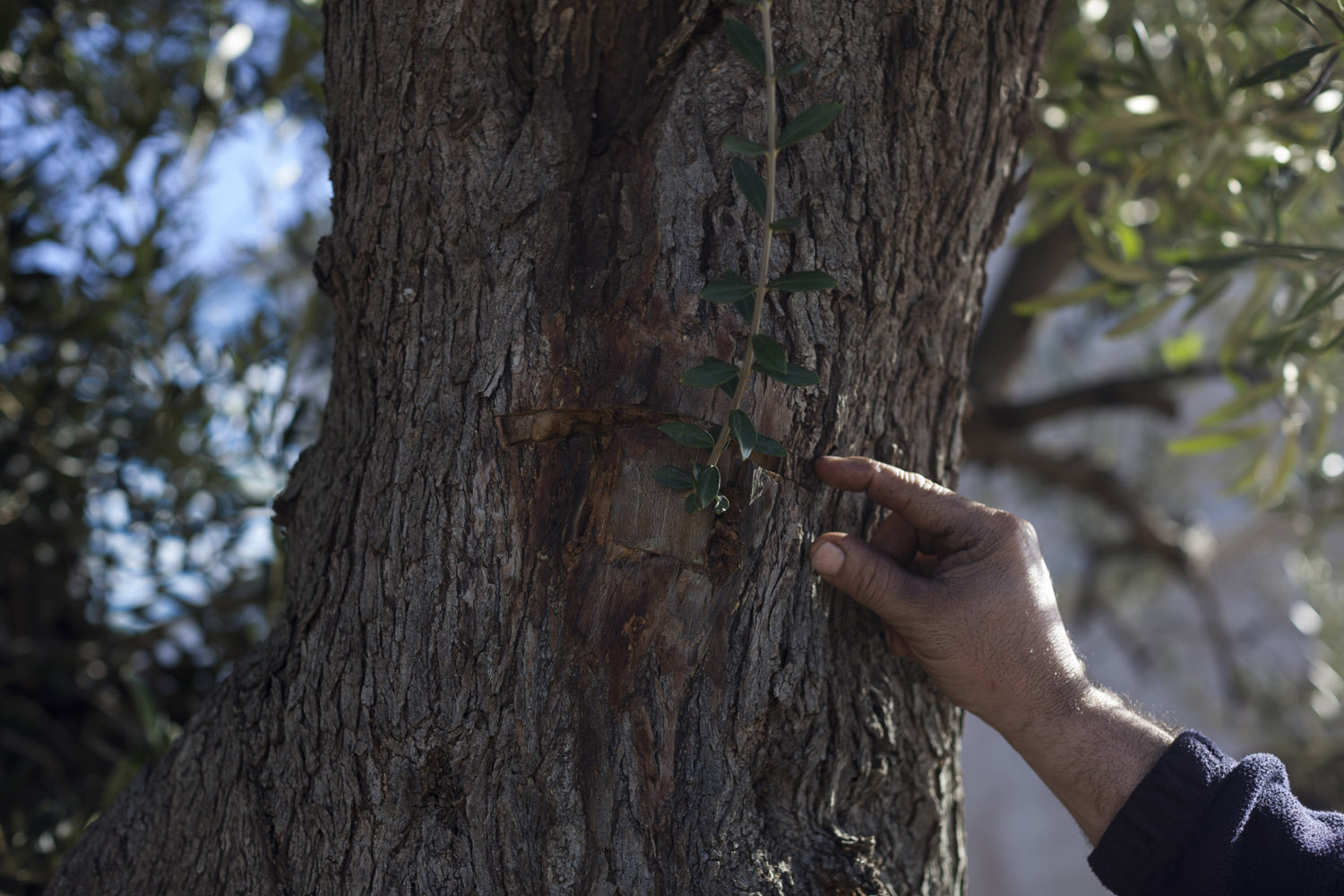With no proven cure yet available, researchers have attempted to find varieties of olive trees that show some resistance to Xylella fastidiosa and could be grafted on Puglia's centuries-old olive trees in an attempt to save such an important element of the landscape. (2017)