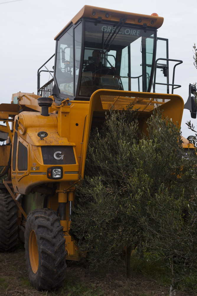 Harvesting olives in a super-intensive olive grove in the countryside of Andria. (2016)