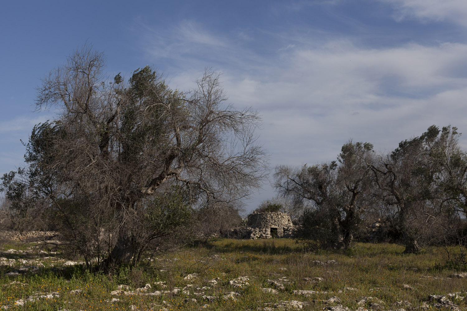 Desiccated olive trees in the countryside of Salento. Because of widespread emigration and the low price of olive oil, many of the area's olive groves were already abandoned before the Xylella fastidiosa outbreak, and are now simply left to wither and die. (2017)