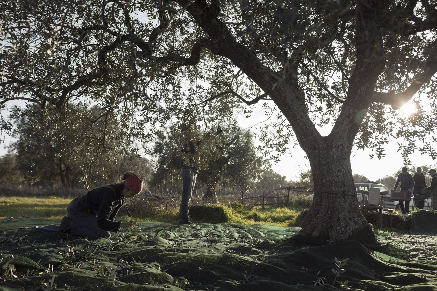 Picking a friend's olives in the countryside of Martina Franca.  (2014)
