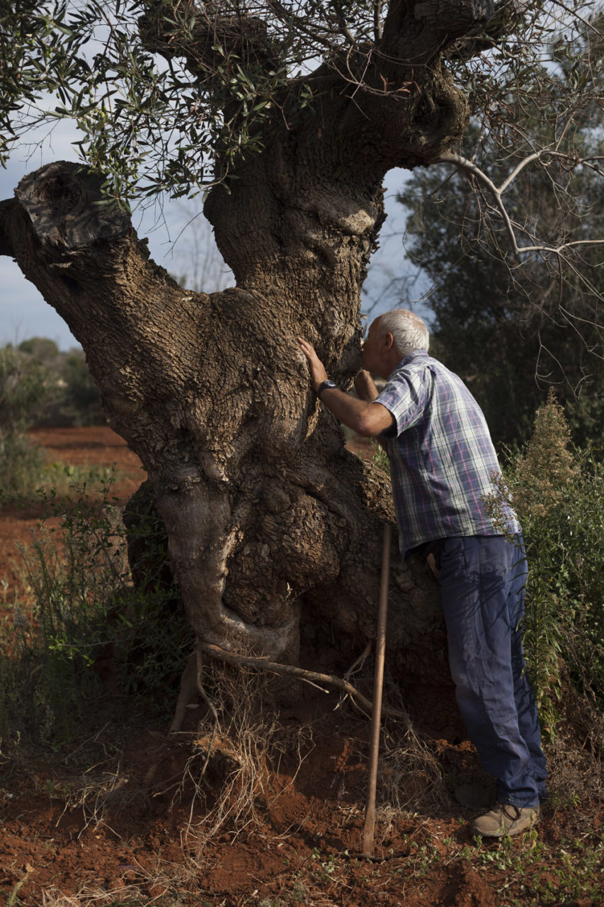 Salvatore Sergi kissing one of his sick, centuries old olive trees. Living deep in the area of Salento affected by the outbreak, Salvatore's fields are surrounded by dead trees on all sides, and yet he is trying all possible natural remedies in order to strengthen his olive trees and allow them to resist to the bacteria. He has invested large sums in natural fertilisers such as organic manure and bat guano, and is devoted to increasing the biodiversity of his fields, which since then have turned into vaguely extravagant gardens. He has also planted a vegetable garden among the mutilated, centuries-old olive trunks, which produce huge amounts of beautiful produce. (2019)