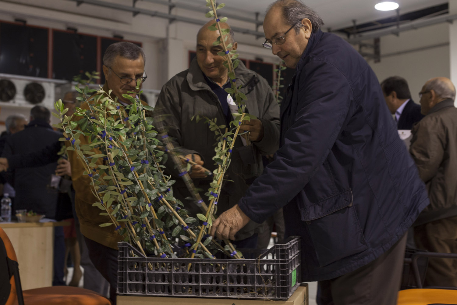 """Farmers pick up free olive saplings at the end of a promotional event for the FS-17 """"Favolosa"""" variety at an agricultural cooperative near Racale, in the area of salento where the outbreak began. Originally designed for super-intensive groves, this patented variety shows some tolerance to Xylella fastidiosa, although doubts remain on its water requirements, especially in a region where water is increasingly scarce. (2019)"""