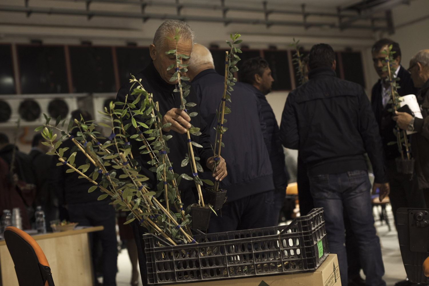 "A farmer takes a free sapling of the FS-17 ""Favolosa"" (fabulous) olive variety, at an event meant to adverthise this new variety which was developed for super-intensive implants and shows resistance to the Xylella fastidiosa bacteria. (2019)"