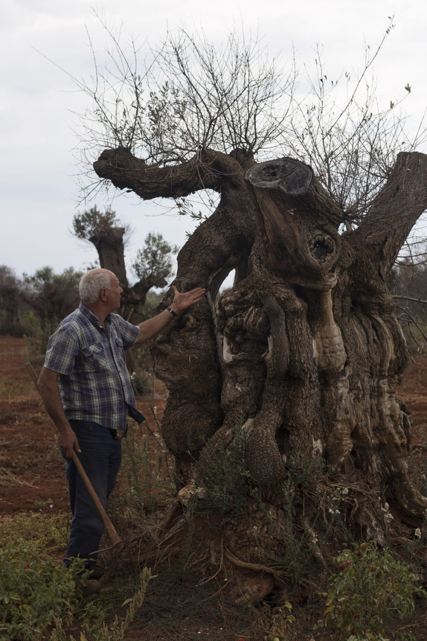 Salvatore Sergi and  one of his sick, centuries old olive trees. Living deep in the area of Salento affected by the outbreak, Salvatore's fields are surrounded by dead trees on all sides, and yet he is trying all possible natural remedies in order to strengthen his olive trees and allow them to resist to the bacteria. He has invested large sums in natural fertilisers such as organic manure and bat guano, and is devoted to increasing the biodiversity of his fields, which since then have turned into vaguely extravagant gardens. He has also planted a vegetable garden among the mutilated, centuries-old olive trunks, which produce huge amounts of beautiful produce. (2019)