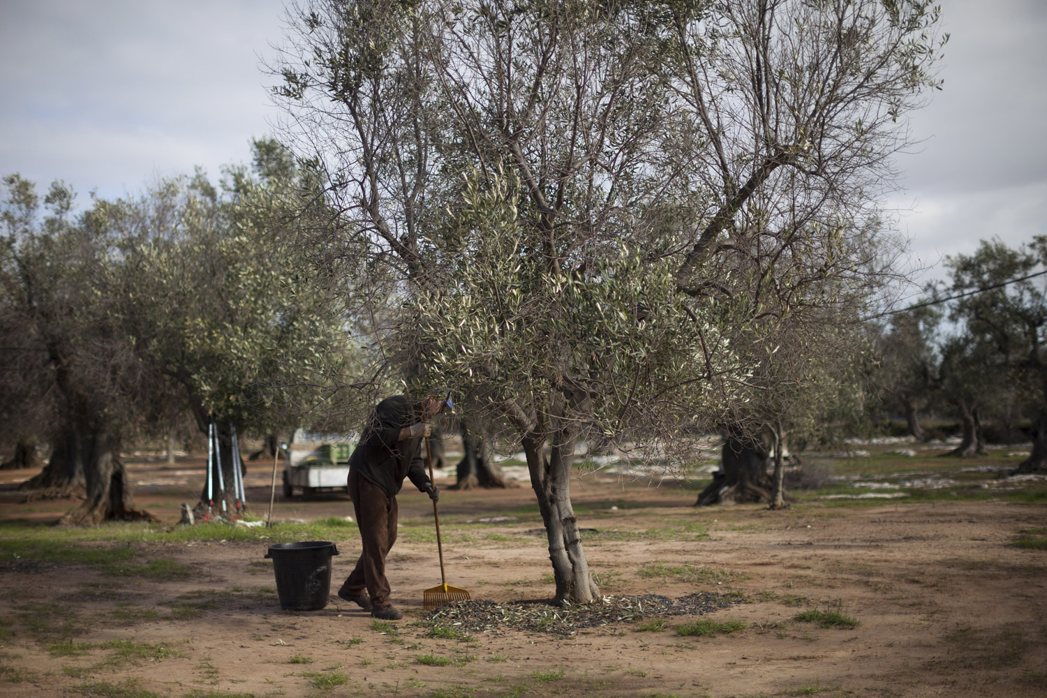 Daniele Casto harvesting olives from the ground in Salento. This practice, which produces low-quality oil and often involves the use of herbicides, has impoverished the soil and therefore weakened the olive trees, literally preparing the ground for the spread of an infection. (2017)