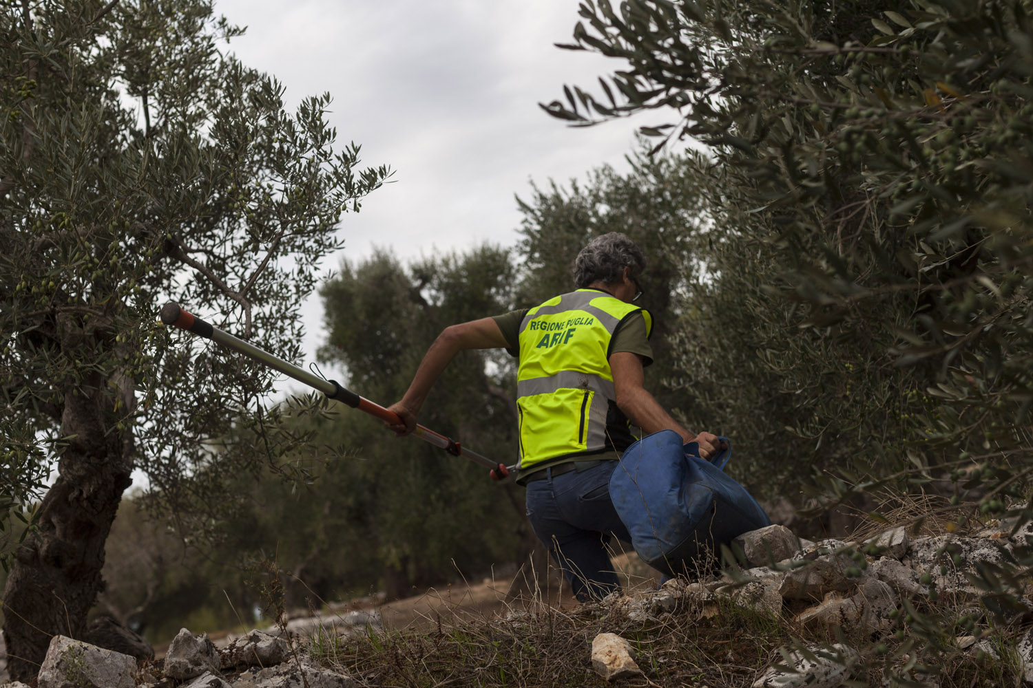 A worker from ARIF checks for visible symptoms of the presence of Xylella fastidiosa in the countryside of Ostuni. (2019)