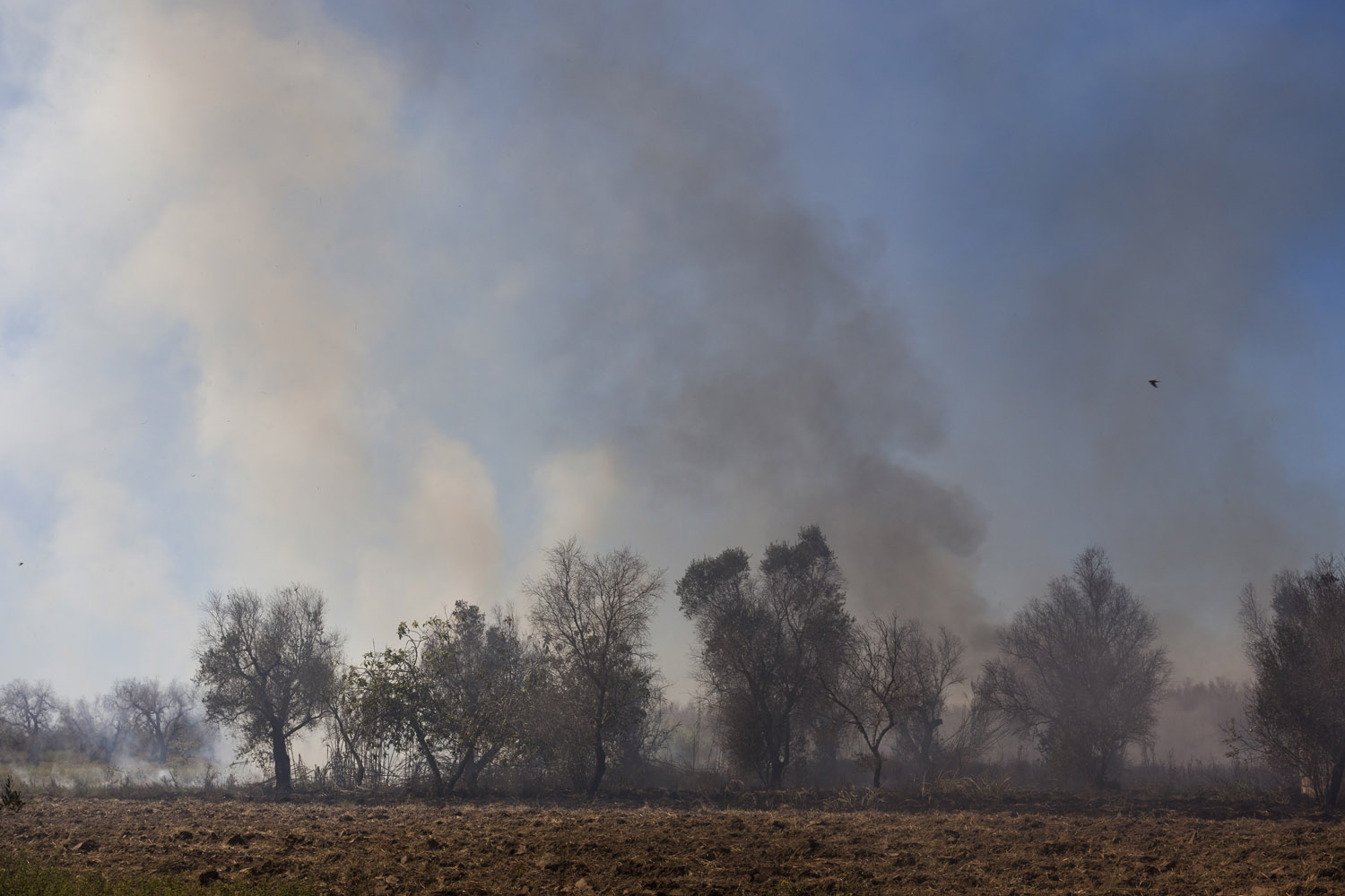 This summer, the authorities reported more than 60 fires per day, stretching the emergency services beyond their limited capabilities, and leaving a persistent pall of smoke over Salento. Some say the fires are lit by the owner of the trees themselves, frustrated at the complex bureaucratic procedures required to eradicate the dead olive trees in order to re-plant. But while Italian law still protects olive trees even when they have been dead for years, nobody cares if they burn.