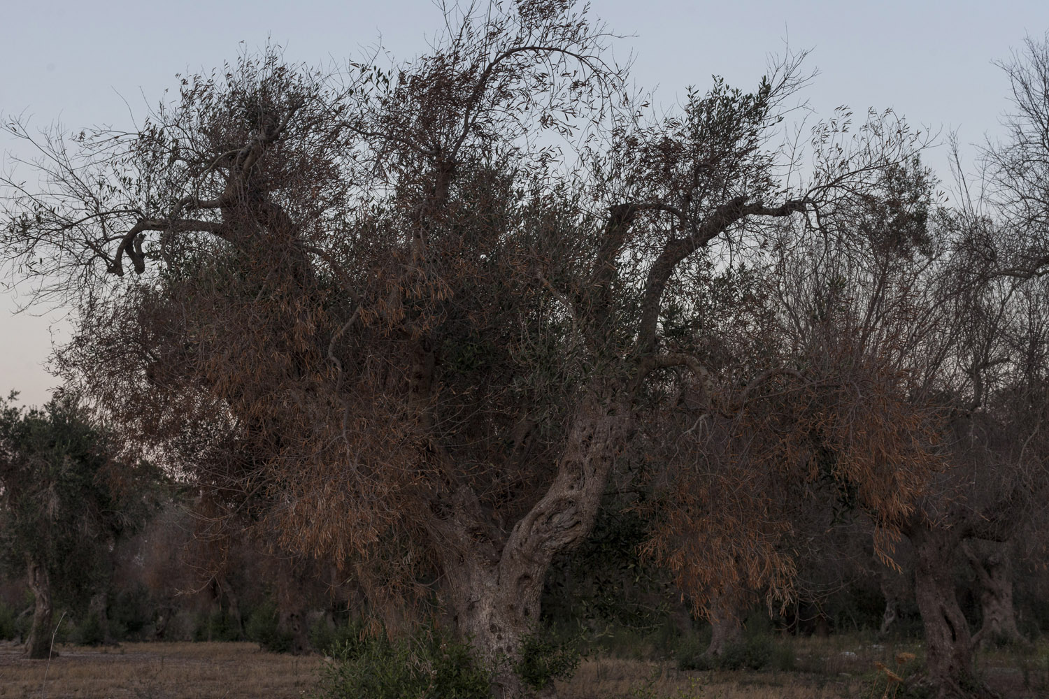 An olive tree affected by Xylella fastidiosa. It is becoming increasingly hard to find non-affected trees in Salento, with symptoms appearing as far as 80 km away from the initial outbreak. And yet there are still some healthy olive trees, whether because they are of the Leccino variety, which appears to be able to withstand the bacteria, or because of some other reason that we still don't understand.