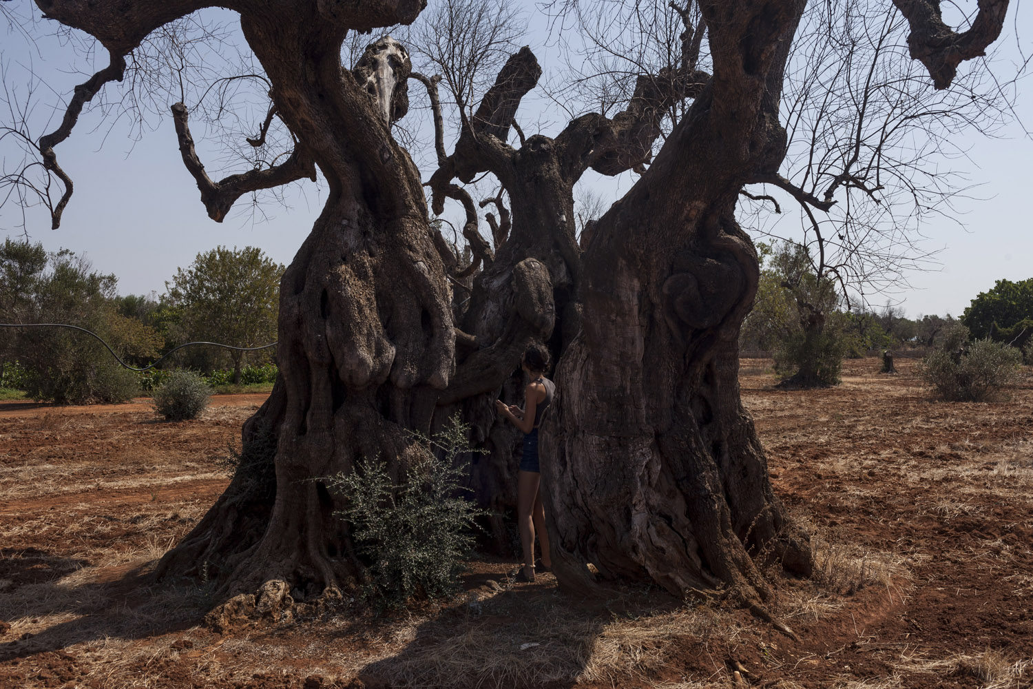 What remains of the Giant of Alliste, possibly the largest and oldest olive tree in Puglia. All sorts of treatments and remedies have been inflicted on this majestic tree, all to no avail.