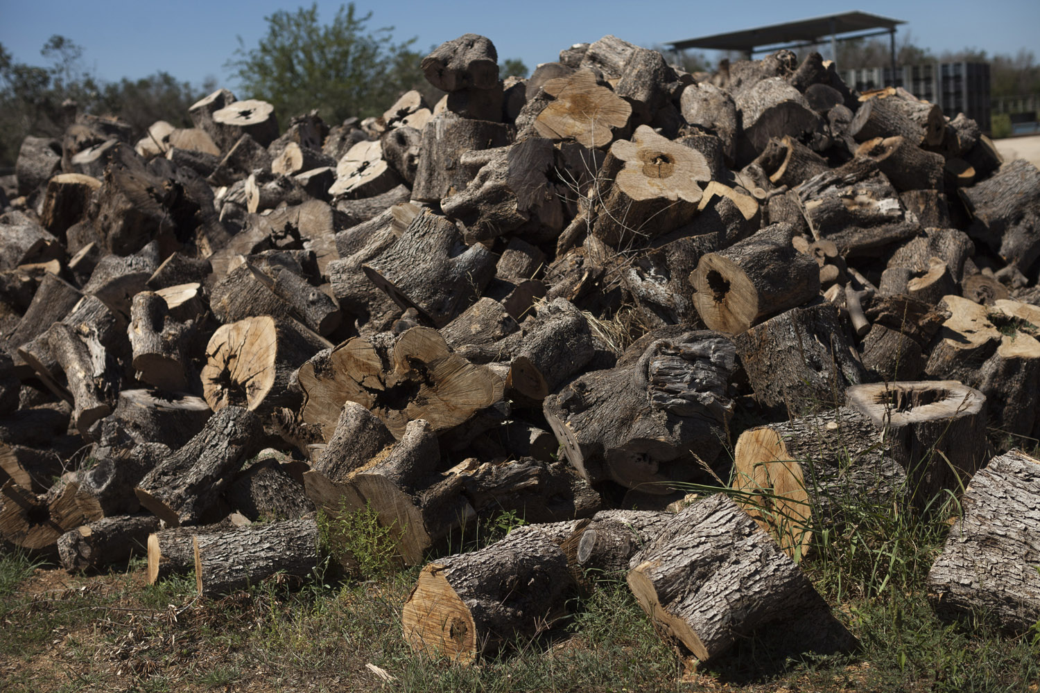 As olive oil production plummeted, a new kind of harvest began appearing in the yards of Salento's countless olive oil mills: firewood. As owners eventually give up and the eradication of the dead trees gathers pace, the price of firewood has plummeted to almost nothing.