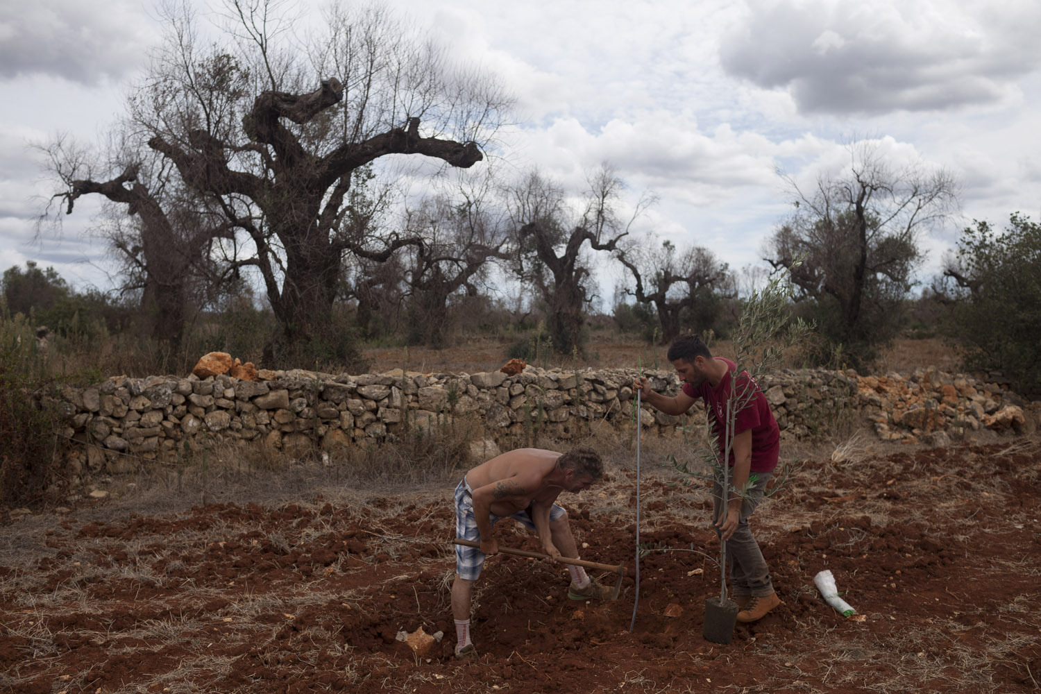 A young farmer planting new olive trees where his grandfather's trees once stood, in an area of Salento where almost all the trees are now dead. He left his job in the north of the country and moved back to help his father through this difficult time, and hopes to be able to produce some olive oil in a few years.